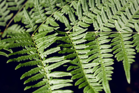 green fern as a nature background, close-up.