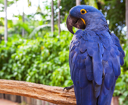 Hyacinth macaw playing in tree, pantanal, brazil, blue bird parrot.