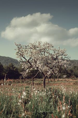 blossoming almond tree under a fluffy clouds in the middle of spring meadow.