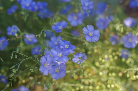 linum: Flax flowers, close up shot, soft focus. Linum usitatissimum