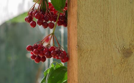 Bunch of guilder-rose (viburnum) berries on wood planks texture background, space for text Stock Photo