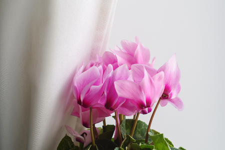 Cyclamen pink flower behind the curtains stock photo picture and cyclamen pink flower behind the curtains stock photo 79521069 mightylinksfo