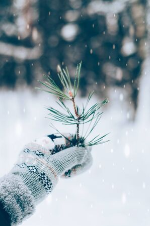 A hand of woman in the knitted mitten is holding the branch of pine on winter forest background