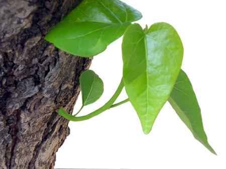 life giving birth: Cierre de una nueva rama y hojas verdes de un �rbol