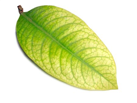 Close up of  Isolated green  leaf details on white background  Stock Photo