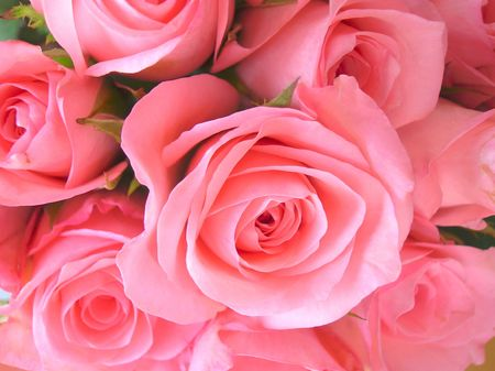 pink rose petals:           close-up of  fresh pink roses. Stock Photo