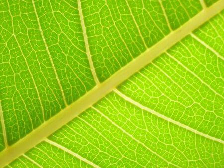 herbage:           Macro Leaf-with back lit