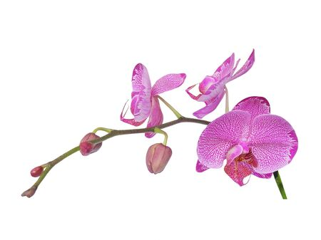 Pink Orchid Stock Photo - 7945736