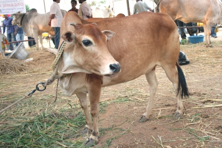 shortest: Hyderabad,Ap,India- March 30,2012:  Shortest cow exhibited  in Desi Cow Mela of indigenous 29 existing breeds.