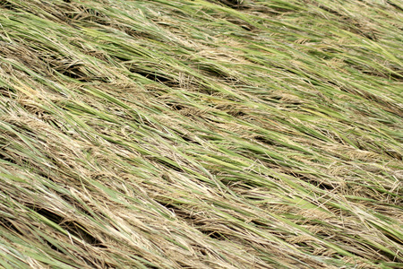 affected: Ripe paddy crop affected by cyclone in India