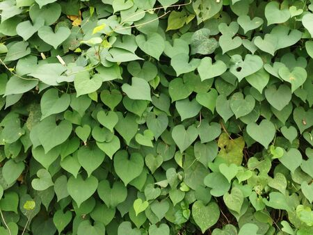 hearted: Green hearted leaves Stock Photo