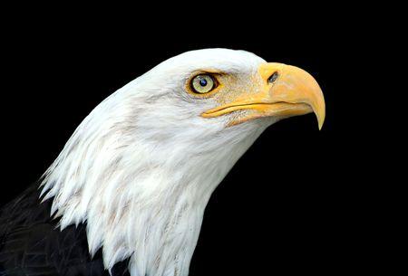アメリカの白頭ワシ肖像画 (Haliaeetus leucocephalus) 写真素材 - 2454067