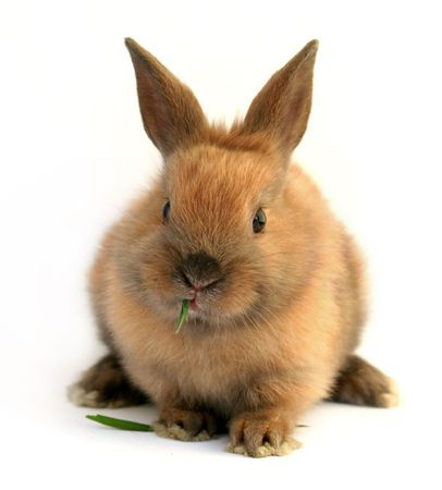 Easter  rabbit eating grass photo