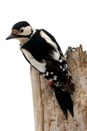 Isolated Great Spotted Woodpecker (Dendrocopus major) up the tree