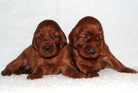 Cute Irish Setter puppies on white background Stock Photo - 7276975
