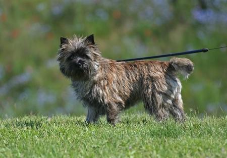 cute westie: Cute cairn terrier walking in the grass Stock Photo