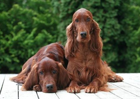 setter: Beautiful Irish Setter mum with her puppy