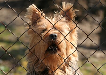 silky terrier: Barking guard terrier Stock Photo