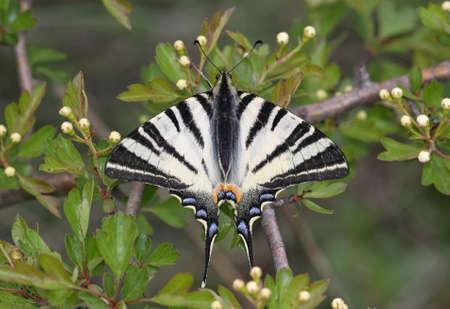 scarce: Beautiful Scarce Swallowtail (Iphiclides podalirius)