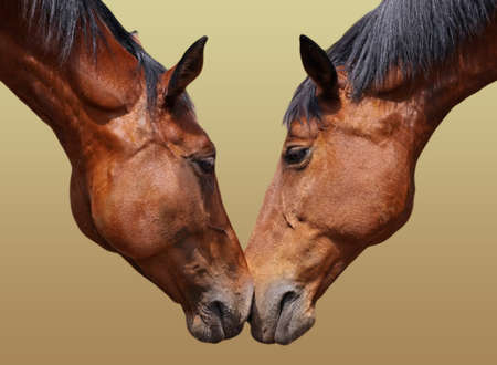 Horse couple in love  photo