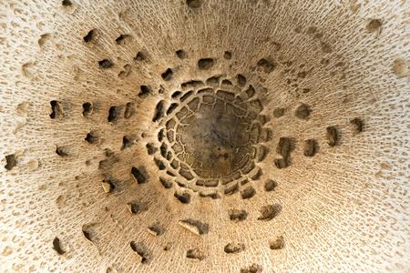 fungous: Lepiota mushroom cap detail
