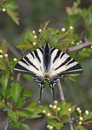 Beautiful Scarce Swallowtail (Iphiclides podalirius) Stock Photo - 10405910
