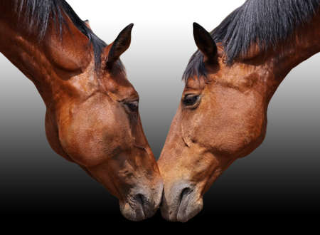 free riding: isolated horse couple in love Stock Photo
