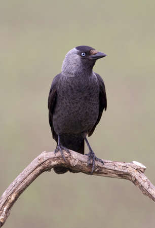 coloeus: beautiful jackdaw bird  coloeus monedula Stock Photo