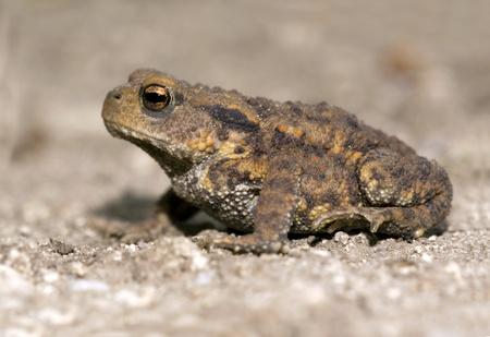 bufo bufo: Brown frog sitting Stock Photo