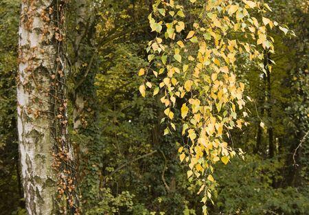 Beautiful birch tree in Autumn  photo