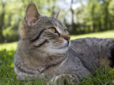Tabby cat looking in the grass photo