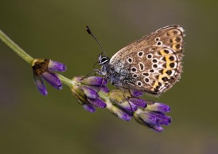 lycaenidae: Beautiful Lycaenidae butterfly on lavender