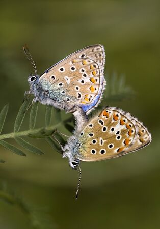 sexual intercourse: Butterfly pair love Stock Photo
