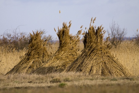 Reed stack after harvest photo