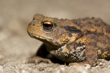 Brown toad close-up