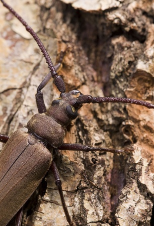 longhorn beetle: Megopis scabricornis - a longhorn beetle Stock Photo