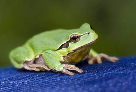 hyla: Green frog  Hyla arborea  sitting on a blue jeans