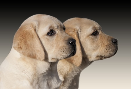 Yellow Labrador Retriever puppies looking photo