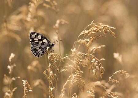 草の上に座って美しい大理石ホワイト バタフライ 写真素材