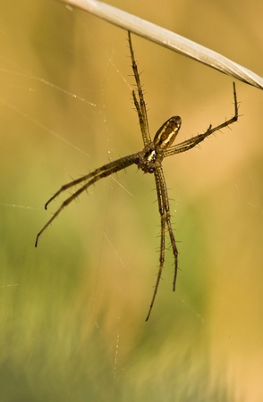 Brown spider hanging on the grass photo