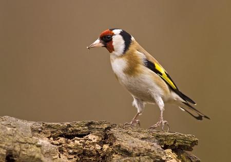 European Goldfinch (Carduelis carduelis) sitting on a wood Banco de Imagens
