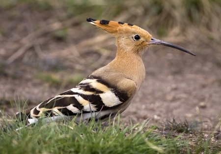Hoopoe bird (Upupa epops) looking in the grass photo