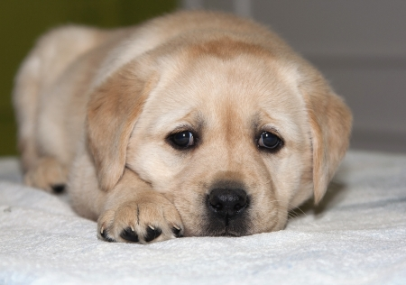 Cute Labrador Retriever puppy photo