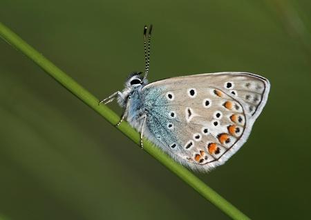 lycaenidae: Lycaenidae butterfly sitting on a grass