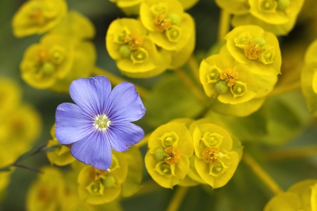 Blue flax flower in yellow euphorbia stock photo picture and blue flax flower in yellow euphorbia stock photo 13735156 mightylinksfo