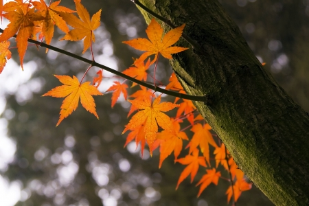 acer palmatum: Beautiful maple tree in Autumn