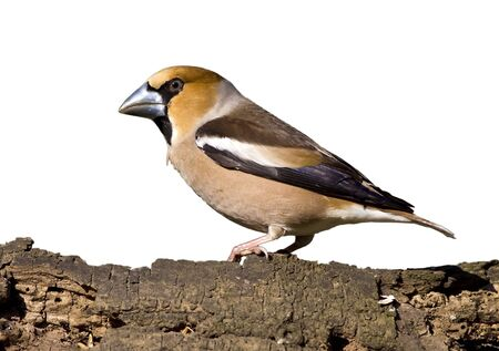 Beautiful hawfinch bird on white background photo