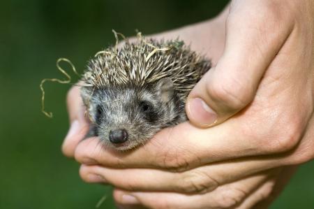 Hedgehog baby in hand Stock Photo - 13774677