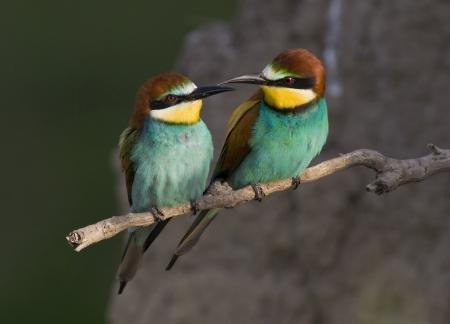 鳥愛ヨーロッパハチクイ