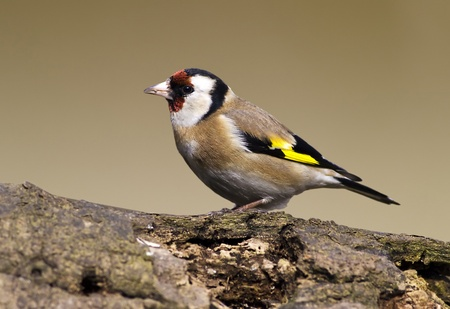 European Goldfinch (Carduelis carduelis) sitting on a wood photo